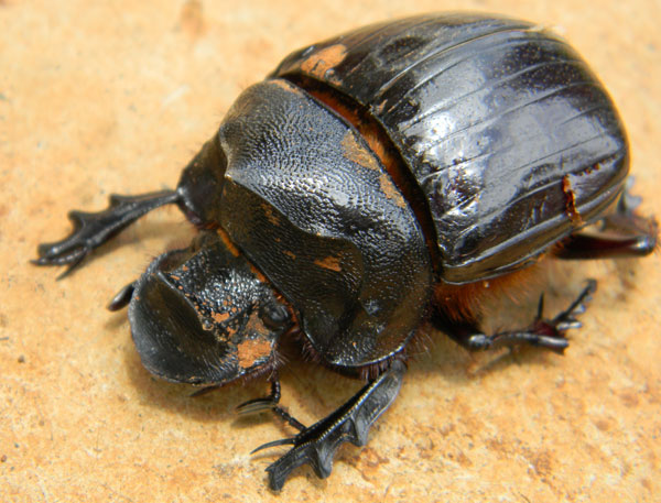 a Copris Dung Beetle from Eldoret, Kenya. Photo © by Michael Plagens