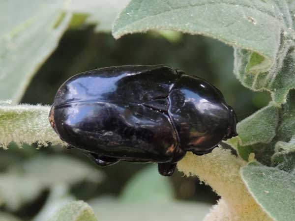 Glossy Black Flower Chafer, Scarabaeidae, Kenya. Photo © by Michael Plagens