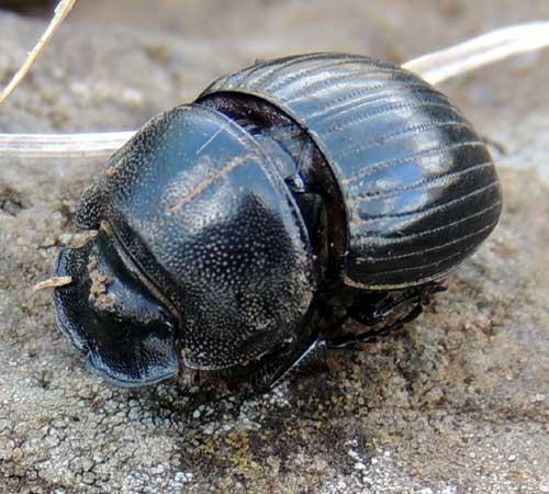 Black Dung Beetle from Eldoret, Kenya. Photo © by Michael Plagens