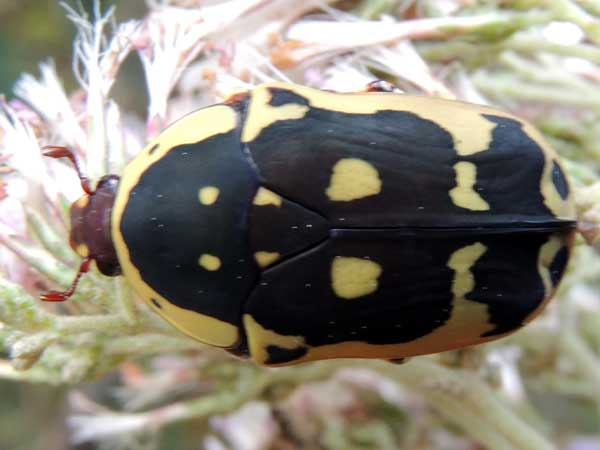 a flower chafer, from near Eldoret, Kenya. Photo © by Michael Plagens