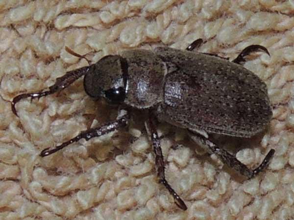Scarab Beetle, Scarabaeidae, Kenya. Photo © by Michael Plagens