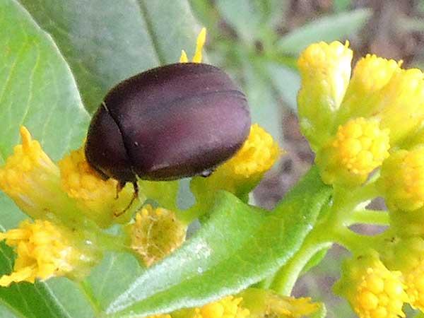 plum colored Beetle, Scarabaeidae, Kenya. Photo © by Michael Plagens