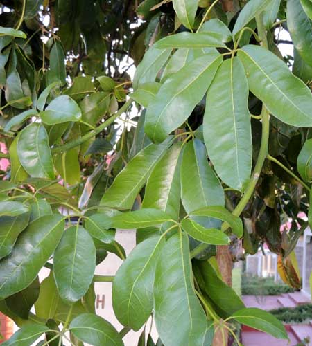 Umbrella Tree, Schefflera abyssinica, photo © by Michael Plagens
