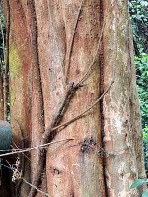 Trunk and bark of Schrebera alata, Nairobi, Kenya, photo © by Michael Plagens