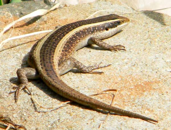unknown species of striped skink, f. scincidae, photo © by Michael Plagens