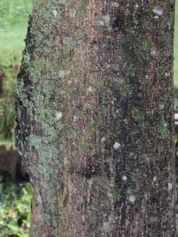 trunk and bark of Senna siamea, Kenya, photo © by Michael Plagens