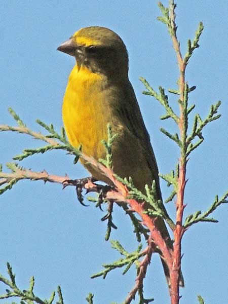 White-bellied Canary, Serinus dorsostriatus, photo © by Michael Plagens