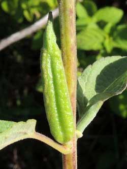 fruit of Sesamum angolense photo © by Michael Plagens
