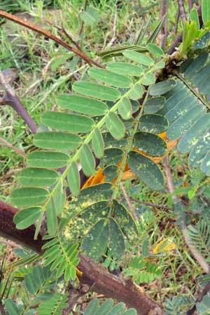 leaves of Sesbania sesban, Kenya, photo © by Michael Plagens