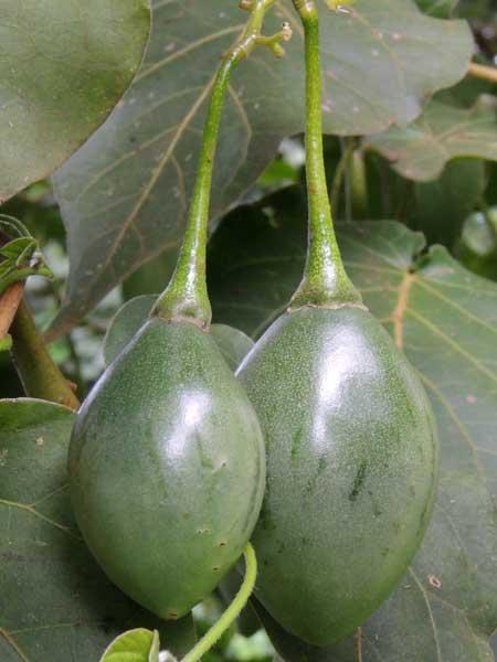 Solanum betaceum from near Kapengurai, Kenya, photo © by Michael Plagens