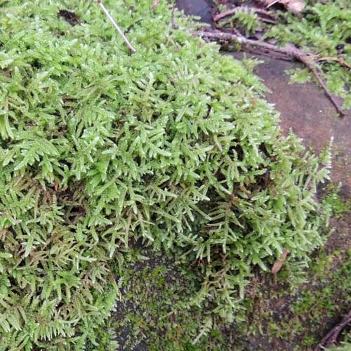 a moss, Sphagnum sp., photo © by Michael Plagens