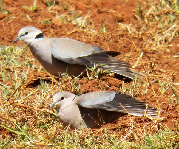 Ring-necked Dove, Streptopelia capicola, photo © by Michael Plagens.