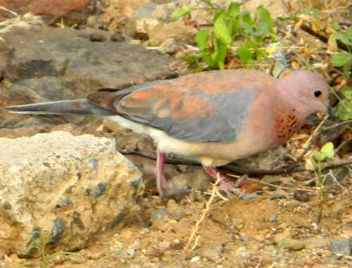 Laughing Dove, Streptopelia senegalensis, photo © by Michael Plagens.