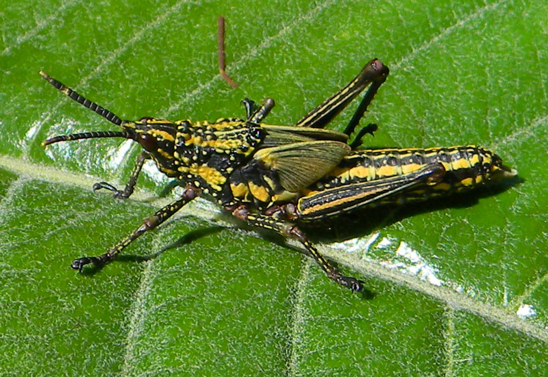 a Pyrgomorphidae grasshopper observed at Naiberi River Camp, Kenya, Oct. 14, 2010. Photo &copy; by Michael Plagens
