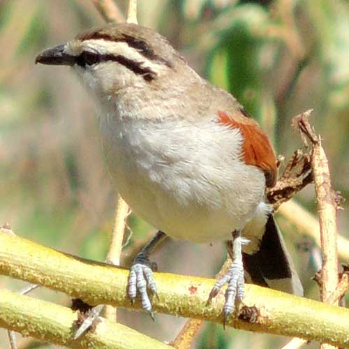 Brown-crowned Tchagra, Tchagra australis, photo © by Michael Plagens