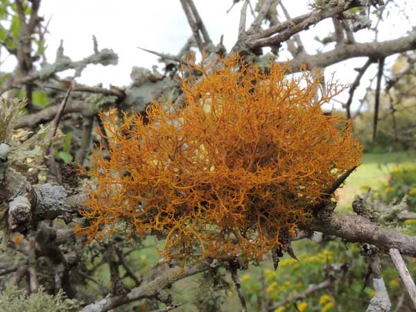 a golden hair lichen, possibly Teloschistes, among many lichens on a tree branch, Kenya. Photo © by Michael Plagens
