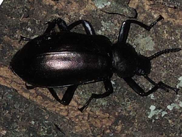 Darkling Beetle, Tenebrionidae, from Kenya, photo © by Michael Plagens. ID by mgeiser.
