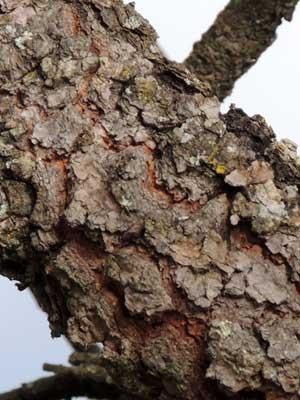 bark of Terminalia sericea, from Kenya, photo © by Michael Plagens