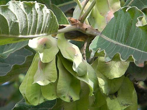 Winged fruit of Terminalia brownii, Kenya, photo © by Michael Plagens