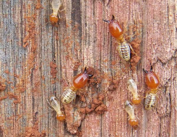 a colony of termites, Termitidae, cooperates to consume a wooden fence post in Eldoret, Kenya. Photo © by Michael Plagens