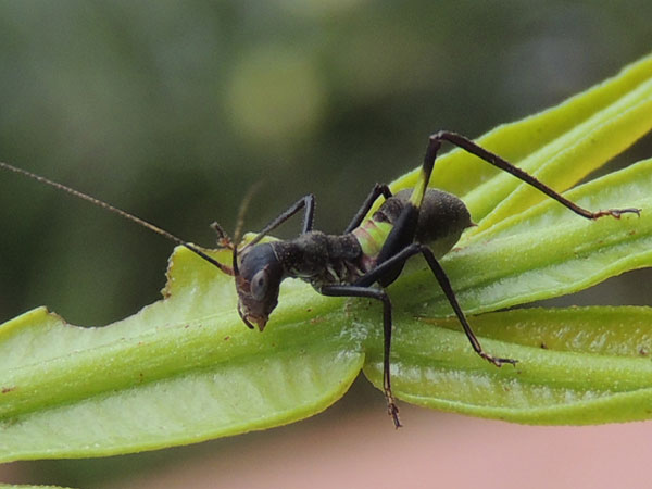 a Tettigoniidae looks like an ant (formicidae), from Eldoret, Kenya, photo © by Michael Plagens
