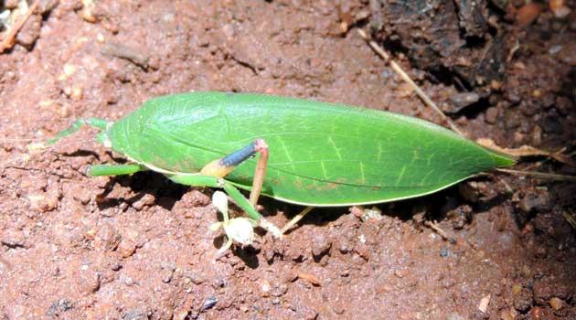 a Katydid, Tettigoniidae, Kenya, photo © by Michael Plagens