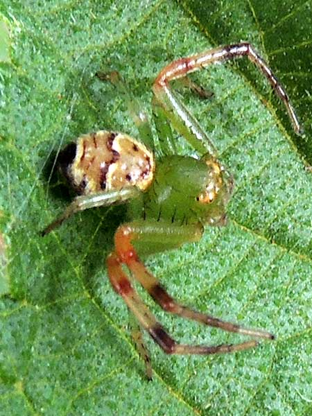 a foliage-inhabiting crab spider, Thomisidae, from Moshi, Tanzania. Photo © by Michael Plagens