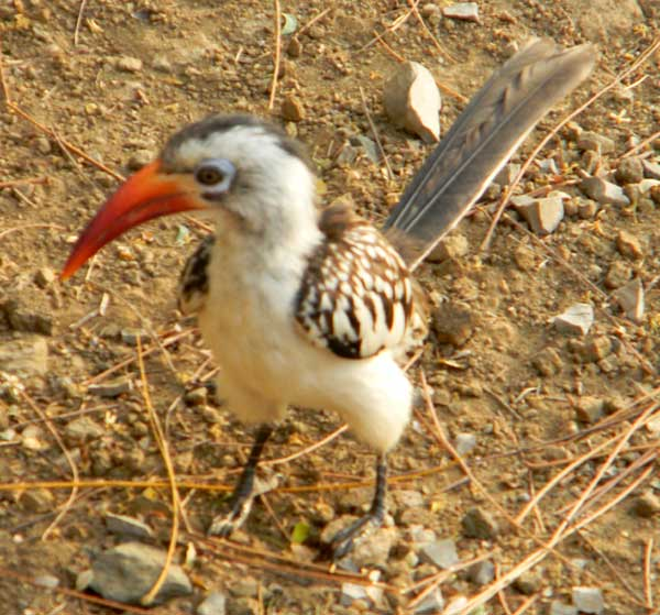 Red-billed Hornbill, Tockus erythrorhynchus, photo © by Michael Plagens.