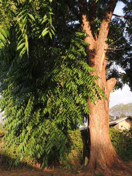 Toona ciliata, Moshi, Tanzania, photo © by Michael Plagens