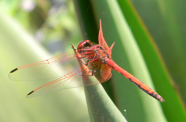 likely a Red-veined Drop-wing, trithemis arteriosa, from City Park, Nairobi, Kenya, Oct. 2, 2010. Photo © by Michael Plagens