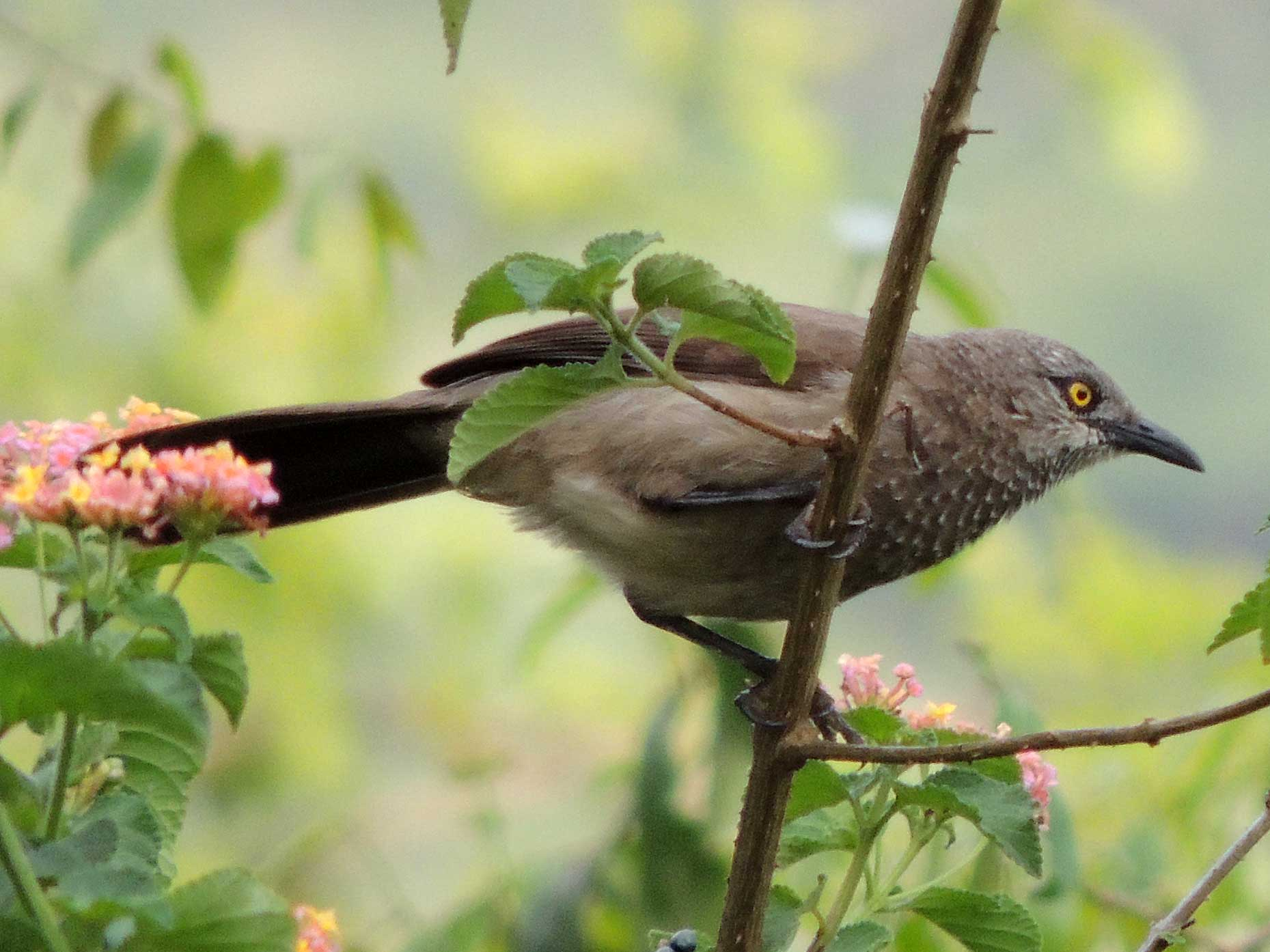 Brown Babbler photo © by Michael Plagens