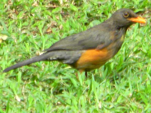Olive Thrush, Turdus olivaceus, photo © by Michael Plagens