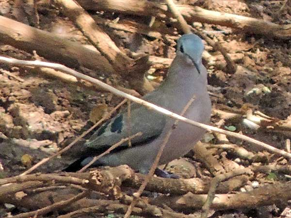 Emerald-spotted Wood Dove, Turtur chalcospilos, photo © by Michael Plagens.