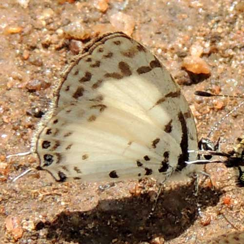 Pied Pierrot, Tuxentius, South Nandi Forest, Kenya. Photo © by Michael Plagens