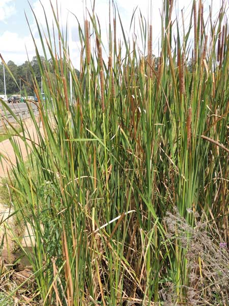 Bulrush, Typha, in Kenya, photo © by Michael Plagens