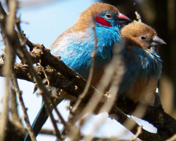 Red-cheeked Cordon-bleu, Uraeginthus bengalus, photo © by Michael Plagens.