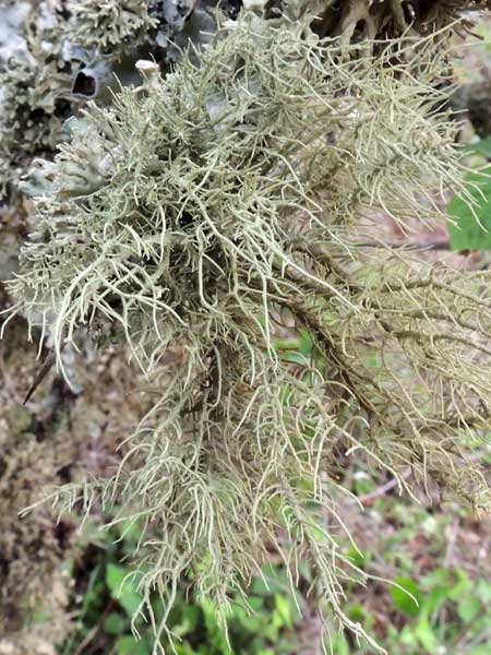 a Old Man's Beard lichen, possibly Usnea, among many lichens on a tree branch, Kenya. Photo © by Michael Plagens