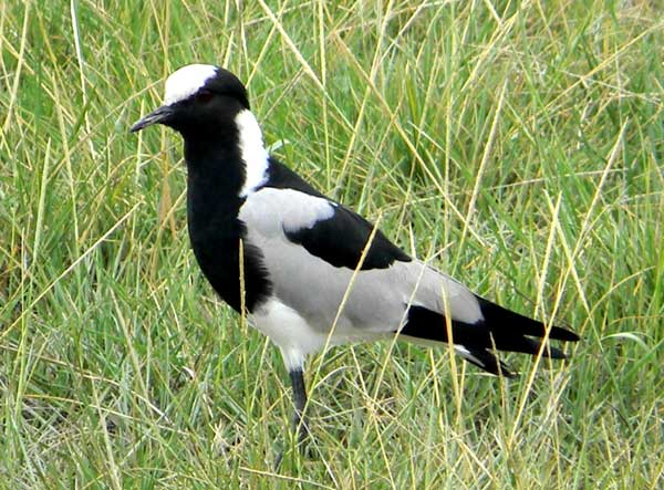 Blacksmith Plover or Lapwing, Vanellus armatus, photo © by Michael Plagens.