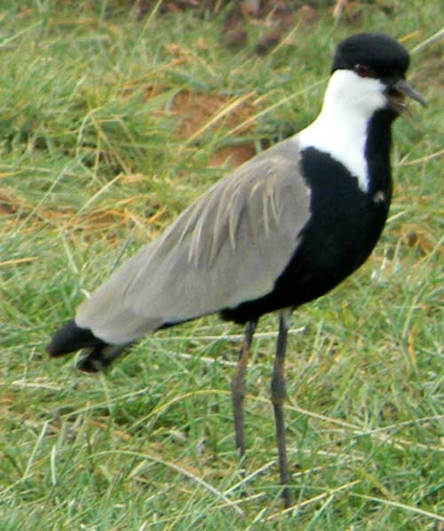 Blacksmith Plover or Lapwing, Vanellus spinosus, photo © by Michael Plagens.