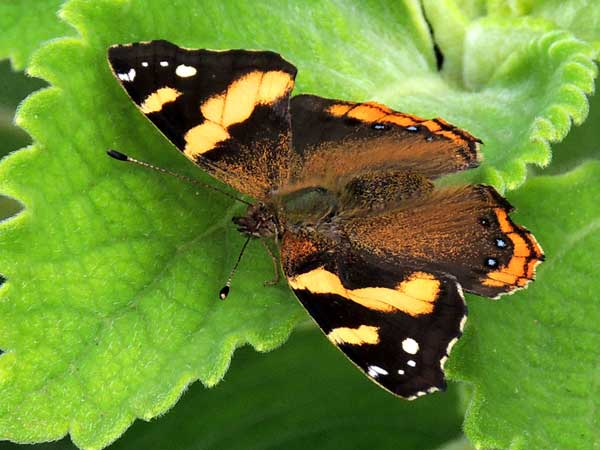 Abyssinian Red Admiral, Vanessa abyssinica, Kenya. Photo © by Michael Plagens