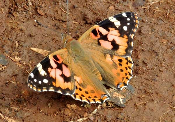 Painted Lady, Vanessa cardui, from Eldoret, Kenya. Photo © by Michael Plagens