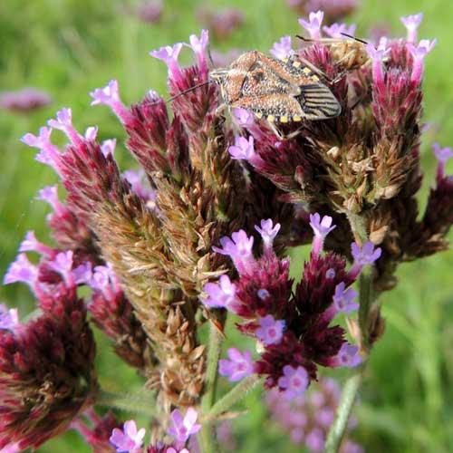 Purple Top, Verbena bonariensis, by Michael Plagens