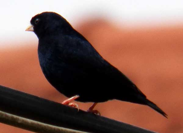 Village Indigobird, Vidua chalybeata, photo © by Michael Plagens