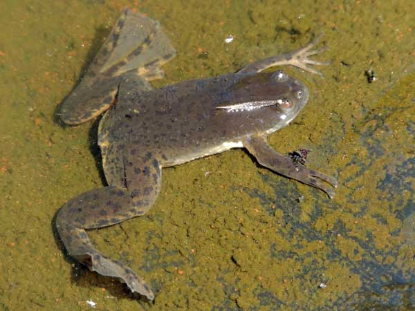 Xenopus victorianus, African Clawed Frog, photo © by Michael Plagens