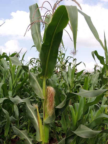 cultivated corn, Zea mays, in Kenya, photo © by Michael Plagens