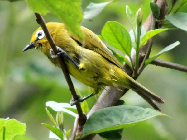 African Yellow White-eye, photo © by Michael Plagens.