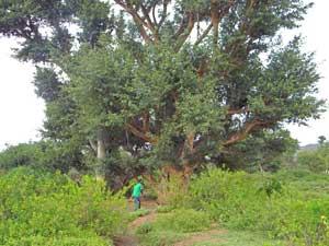 Grand fig trees offer habitat to many land birds, Lake Bogoria, Kenya, photo © by Michael Plagens