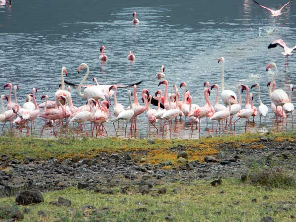 Greater and Lesser Flamingoes at Lake Bogoria, Kenya, photo © by Michael Plagens
