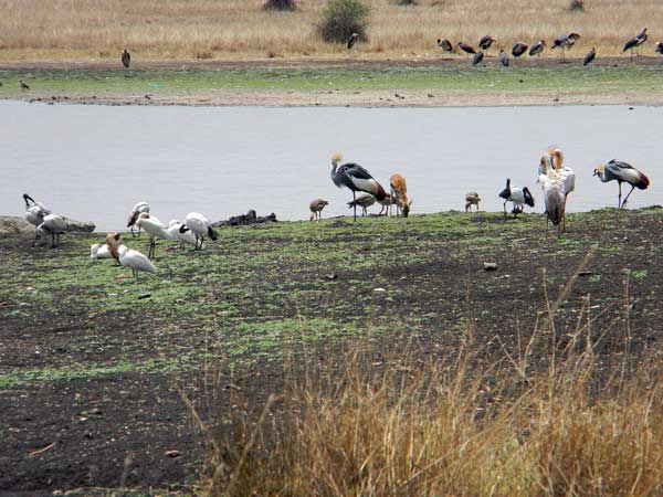 birds at a waterhole in Nairobi National Park photo © by Michael Plagens