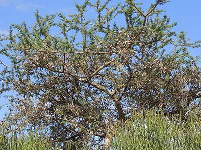 Gum Acacia, Acacia senegal, Machakos, Kenya, photo © by Michael Plagens